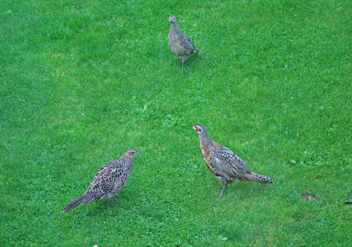Some of our Pheasant guests