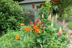 Lupins and Poppies