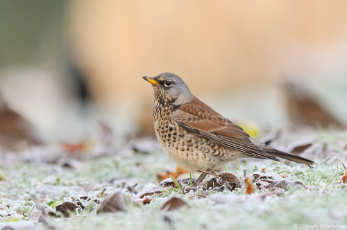 Fieldfare (photo credit Dawn Monrose)