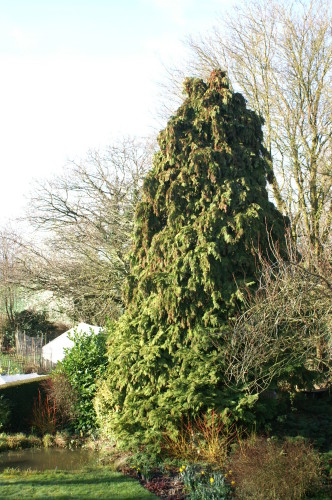The Tall Conifer by the pond