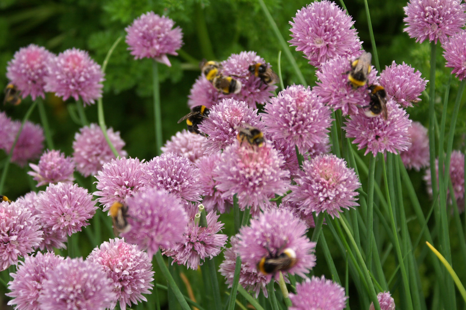 The bees love our chives